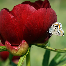 Butterfly and wild peony by Nataliya Kamenova - Animals Insects & Spiders