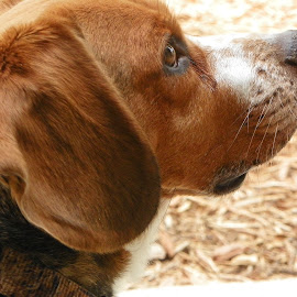 Freckles & Whiskers by Sandy Stevens Krassinger - Animals - Dogs Portraits ( whiskers, ears, beagle, dog, nose, eye, animal,  )