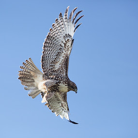 Red tailed hawk by Alex Sam - Animals Birds ( canon, bird, 5d mark ii, shooter, sky, lens, 5d, hawk )