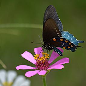 Pipevine swallowtail butterfly in the pink by Raymond Earl Eckert - Flowers Single Flower ( flower; garden; color; colorful; enhancement, butterfly; pipevine,  )
