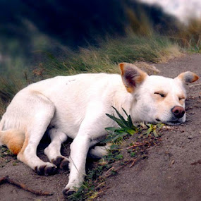 lone trekker by Caƶ Dickson - Animals - Dogs Portraits ( mountain, stray, dog, sleep, trek )