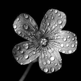 Wood sorrel  by Asif Bora - Black & White Flowers & Plants (  )