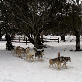 Sled Dogs by Sarah Harding - Novices Only Sports ( dogs, novices only, sport, sled )