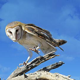 Owl by Nancy Young - Animals Birds ( bird, sky, owl, branch,  )
