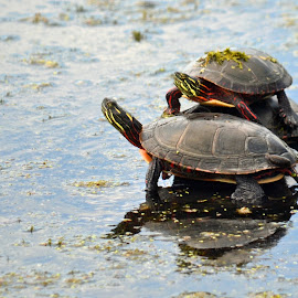 Turtles by Jaliya Rasaputra - Animals Reptiles
