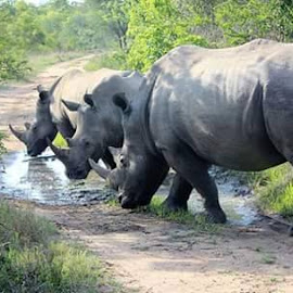 Rhino by Lydia Schoeman - Animals Other
