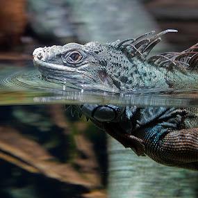 Swimming time. by Ketut Pujantara - Animals Reptiles