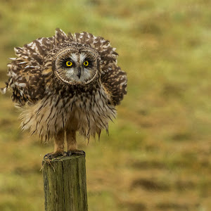 219A4798 edited,owl,perched,puffe,feathers,eyes,post.jpg