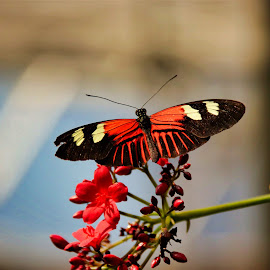 Exotic  by Bruce Newman - Animals Insects & Spiders ( butterfly, vivid, dramatic, nature photography, insects, exotic )