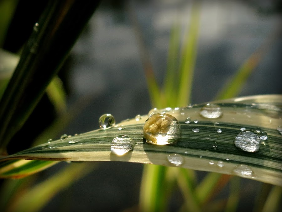 A drop of the sun by Marina Denisenko - Nature Up Close Natural Waterdrops ( drops, green, waterdrop, grass, dew )