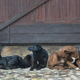Friends by Sonja VN - Animals - Dogs Portraits ( resting, dogs, wood, black dogs, afternoon, old town, stone, bunch )