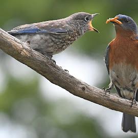 Feed me by Steven Liffmann - Animals Birds