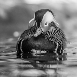 Duck by Garry Chisholm - Black & White Animals ( mandarin, nature, duck, bird, water, garry chisholm )