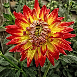 DNI dahlia 05 by Michael Moore - Flowers Single Flower (  )