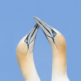 Classic Gannet Love Pose by Harry Eggens - Animals Birds ( scotland, vertical, proframe, pair, nikkor, wildlife, space, feather, solan goose, birds, photography, bass rock, eyes, solan, gannet, nature, harry eggens, nikon, northern gannets, wild, pairs, solan bird, camera, plumage, image, morus bassanus, feathers, photo, lens, firth of forth, picture, bird, beaks, beak )