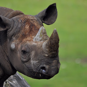 black rhino portrait by Steen Hovmand Lassen - Animals Other Mammals ( savannah, africa, rhino, portrait, black,  )