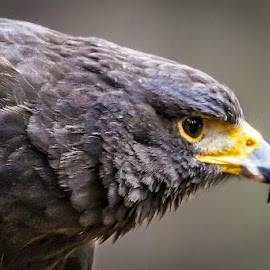 Hawk Eye by Carol Plummer - Animals Birds