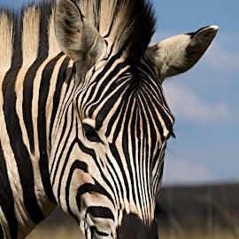 Zebra by Helen Nickisson - Animals Other Mammals