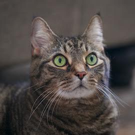 I heard something! by Leah Varney - Animals - Cats Portraits ( cats, cat face, cat, animals, pet photography, cat eyes, cat portrait, catsofinstagram, feline, domestic cat,  )