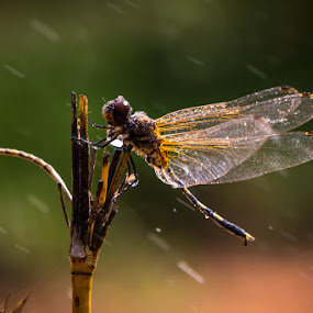 Dragon fly in the rain by Calvin Chan - Animals Insects & Spiders