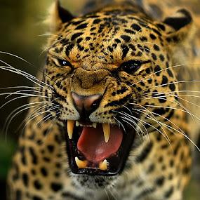 Raaaaaawk !!! by Roy Ardy - Animals Lions, Tigers & Big Cats ( lion, animals, tiger& big cats,  )