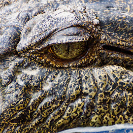 by Denise Flay - Animals Reptiles (  )