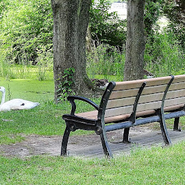 A park bench and a swan  by Mary Gallo - City,  Street & Park  City Parks ( park bench, nature, swan, nature up close, park, landscape,  )
