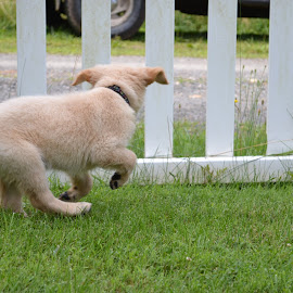 Bella in action  by Isabelle Largen - Animals - Dogs Puppies