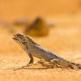 Chameleon by Oemar Patex - Animals Reptiles