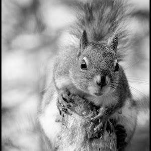 Red Squirrel-29.jpg