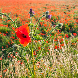 Poppies and Thistles by Staffan Håkansson - Landscapes Prairies, Meadows & Fields ( red, thistle, summer, july, poppies, scanis, rapsbollen )