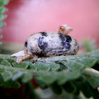 Ichneumon Wasp Cocoon