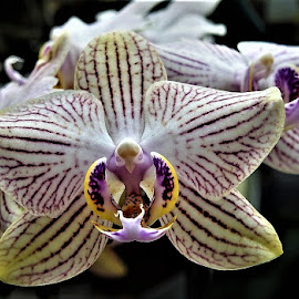orchid by Mary Gallo - Flowers Single Flower ( macro, nature, nature up close, orchid, flower,  )