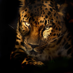Predatory Stare by Jen Millard - Animals Other Mammals (  predator,  prey,  cat,  shadow,  animal,  wildlife, leopard )