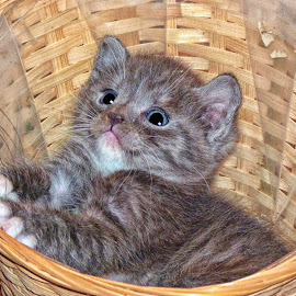 Kitten in a Basket-2 by Twin Wranglers Baker - Animals - Cats Kittens (  )