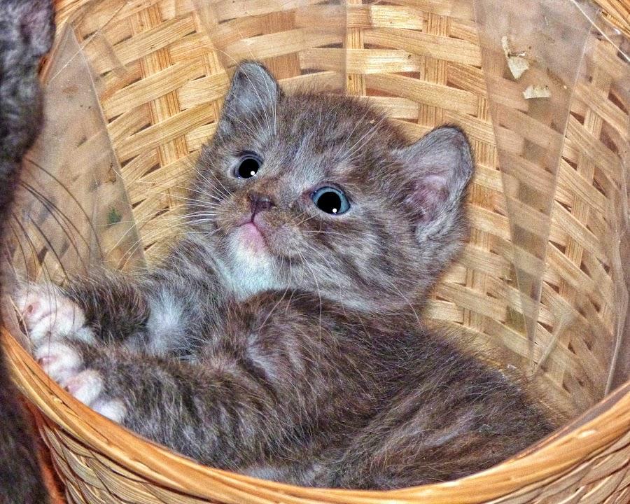 Kitten in a Basket-2 by Twin Wranglers Baker - Animals - Cats Kittens (  )