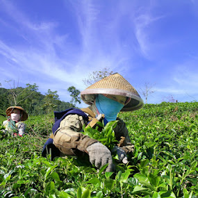 Tea Pickers by Firman Tirtawidjaja - Professional People Agricultural Workers (  )