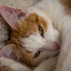 SLEEPY SAM by Kathryn Bisley - Animals - Cats Portraits ( cats, cat face, animals, cat eyes, cat portrait, nature up close )