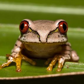 Natal tree frog by Simon Joubert - Animals Amphibians ( tree, frog, kwazulu-natal, juvinile, amphibian, natal )