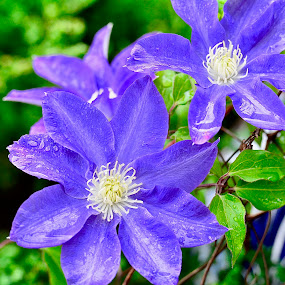 Clematis Dreams by Victoria Eversole - Flowers Flower Gardens ( clematis, climbing flowers, georgia gardens, purple flowers )