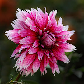 Purple dalhia by Gérard CHATENET - Flowers Single Flower