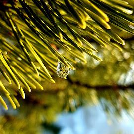 winter drop by Daniela Badila - Nature Up Close Natural Waterdrops ( winter, green, drops, nature up close, fir )