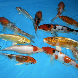 Koi Fishes by Lye Danny - Animals Fish