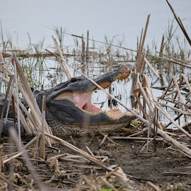Gator 2 by Keith Heinly - Animals Reptiles ( water, viera, wetlands, florida, alligator )