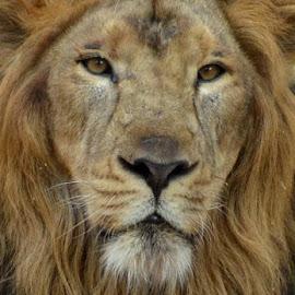 Lion Face by Tejz TJ - Animals Lions, Tigers & Big Cats ( big cat, lion, big cats, animals, close up, animal )