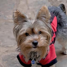 KenZi by Danette de Klerk - Animals - Dogs Portraits ( yorkie, yorkshire terrier, dog, friend, animal,  )