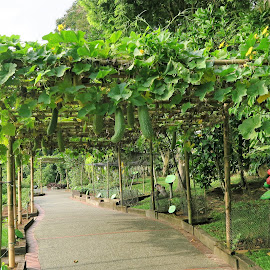 Bottle Gourd Trestle  by Dennis Ng - Nature Up Close Gardens & Produce