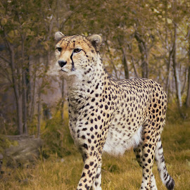 Magnificence by Roy Branford - Animals Lions, Tigers & Big Cats ( cats, cheetah, potoshop, blake rudis mzs, topaz, chester zoo )