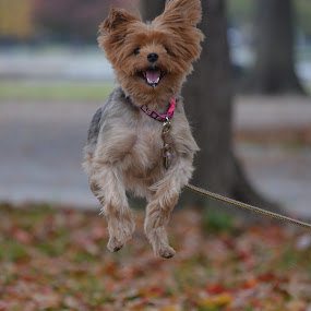 by Joey Chen - Animals - Dogs Playing ( yorkie terrier, dog, cute dog )