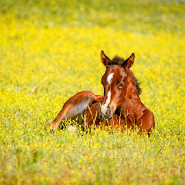 Baby in a field by Carol Plummer - Animals Horses